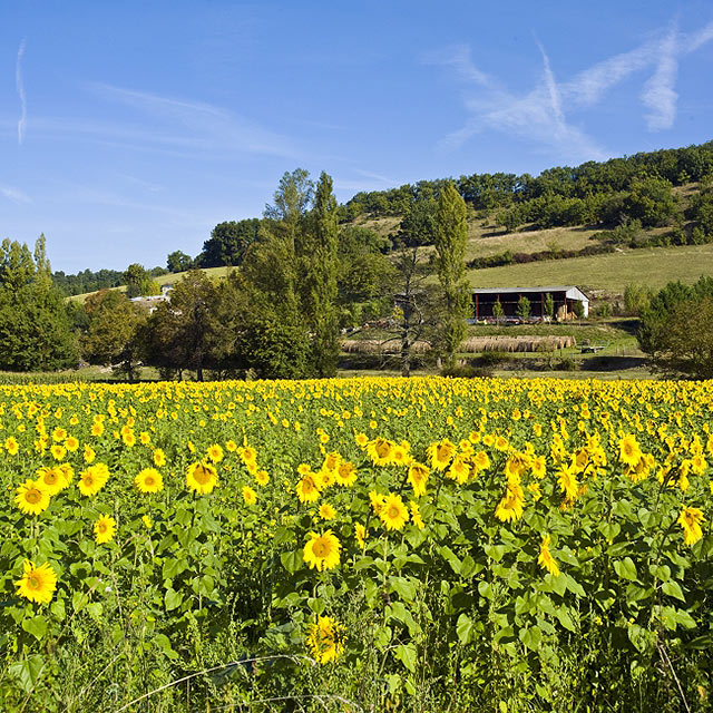 FTG-14-04: Sunflowers, nr Bourg-de-Visa