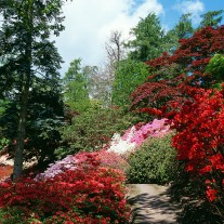 ES-205-11: Azaleas, Punchbowl, Windsor Great Park