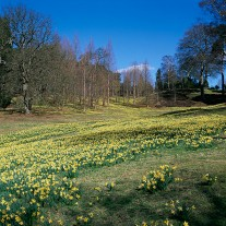 ES-218-06: Daffodils, Windsor Great Park