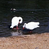 EWS-63-08: Coscoroba Swans, Wildfowl & Wetlands Trust, Arundel